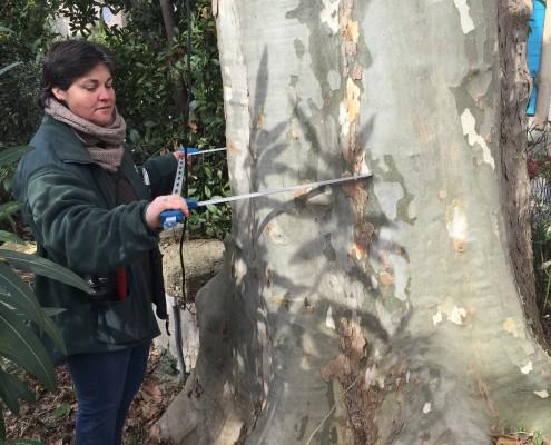 Mesure d'un arbre- étude phytosyntairem