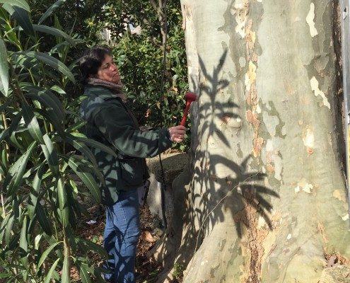 sondage d'un arbre - étude phytosyntaire