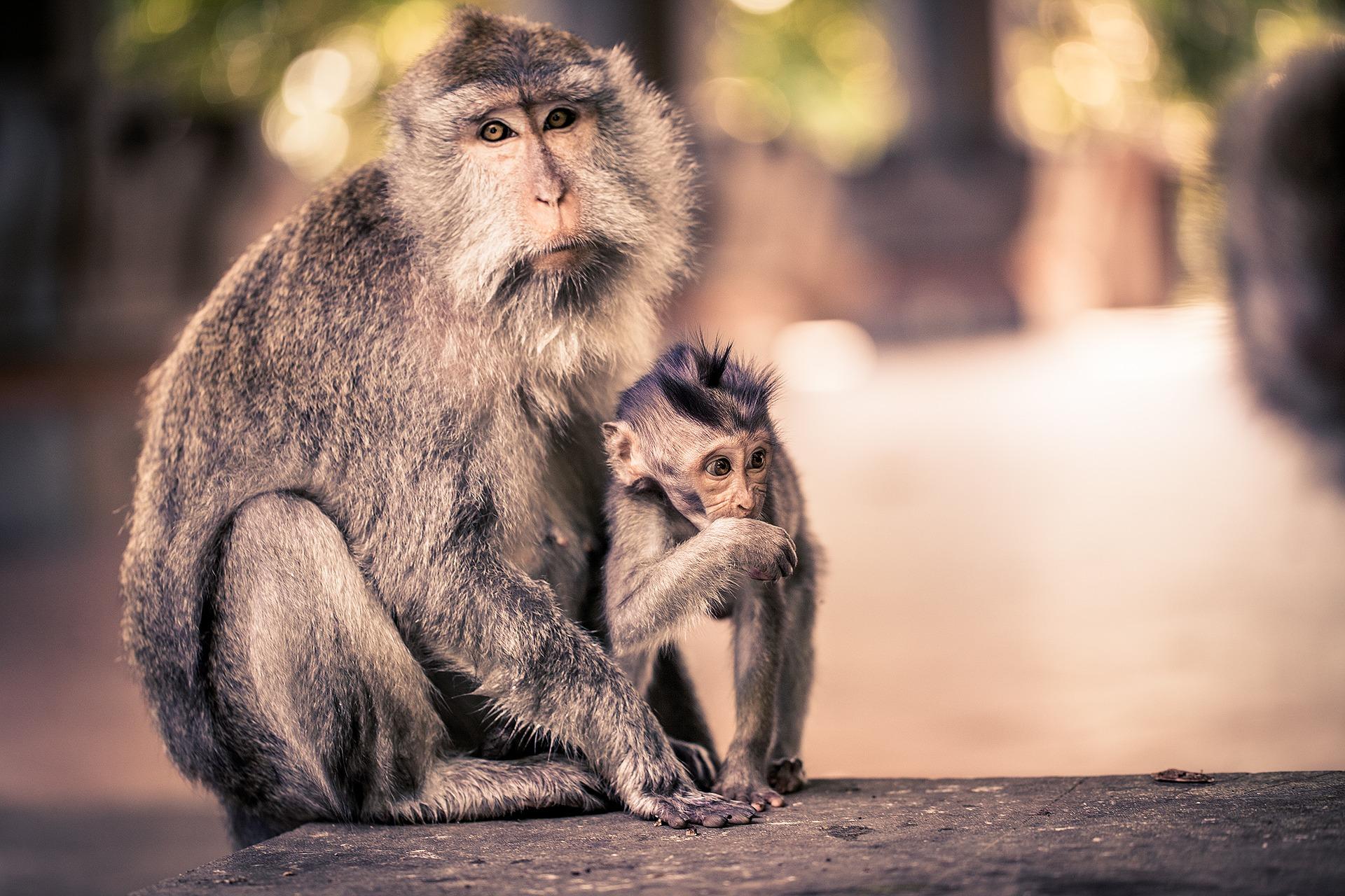 singes à Ubud, Bali